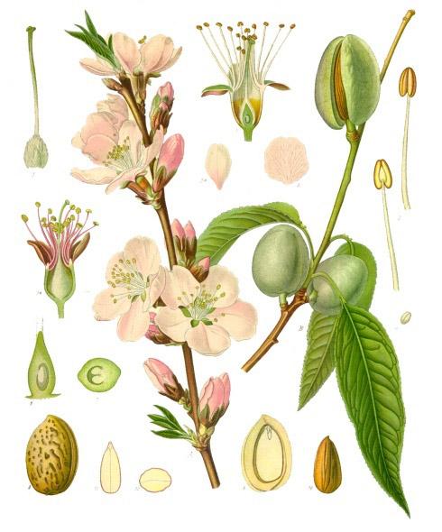 Prunus_dulcis_-_Köhler–s_Medizinal-Pflanzen-250
